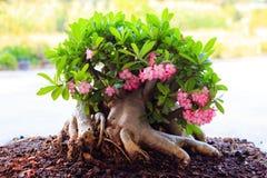 Beautiful Desert rose or Ping Bignonia Royalty Free Stock Photography