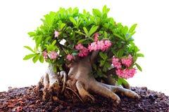 Beautiful Desert rose or Ping Bignonia Stock Images