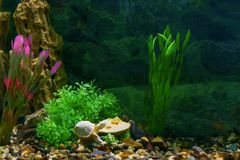 Beautiful design-aquarium decoration, artificial plants, brown soil and stone rock. Fish ball lying on a stone in a transparent. Aquarium royalty free stock images