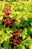 Beautiful detail in bed of healthy,colorful Coleus in landscaped garden Stock Image