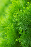 Beautiful detail of chinese arborvitae with bokeh. Beautiful detail of chinese arborvitae with smooth out of focus area royalty free stock photo