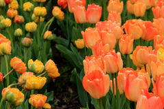 Beautiful detail in colorful petals of peach and yellow tulips. Beautifully landscaped garden of peach and yellow tulips Stock Photo