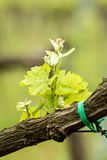 Beautiful detail of grapes Royalty Free Stock Photos
