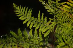 Beautiful detail landscape image of fern in forest lit by sun ag. Beautiful intimate landscape detail image of fern in forest lit by sun against black background stock photos
