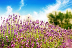 Beautiful detail of a lavender field Royalty Free Stock Photo