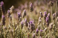 Beautiful detail of lavender field royalty free stock photography