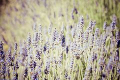 Beautiful detail of a lavender field. Stock Photography