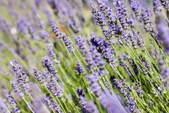 Beautiful detail of a lavender field. Royalty Free Stock Image