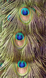 Beautiful detail of peacock tail Royalty Free Stock Image