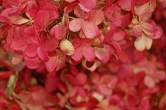 Beautiful detail of red hydrangea from greenmarket in closeup stock images