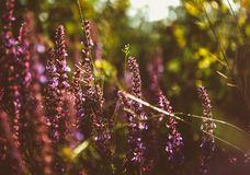 Beautiful detail of scented lavender flowers field in perfect Radiant Orchid color of the 2014. Image for agriculture, SPA, medica Royalty Free Stock Images