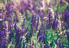 Beautiful detail of scented lavender flowers field in perfect Radiant Orchid color of the 2014. Image for agriculture, SPA, medica Stock Photography