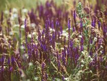 Beautiful detail of scented lavender flowers field in perfect Radiant Orchid color of the 2014. Image for agriculture, SPA, medica Stock Images