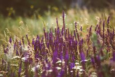 Beautiful detail of scented lavender flowers field in perfect Radiant Orchid color of the 2014. Image for agriculture, SPA, medica Royalty Free Stock Photo