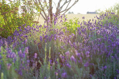 Beautiful detail of scented lavender flowers field Royalty Free Stock Image