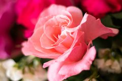 Pink Rose flower macro picture stock image