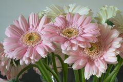 Pastel Pink Colored Gerbera Daisy. royalty free stock image