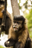 Beautiful devil monkey Stock Photo