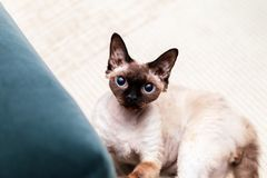 Beautiful Devon Rex cat Blu Point type In the home interior. Selective focus, bokeh royalty free stock image