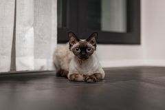 Beautiful Devon Rex cat Blu Point type In the home interior. Selective focus, bokeh. Beautiful Devon Rex cat Blu Point type In the home interior. Selective focus stock images