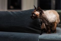 Beautiful Devon Rex cat Blu Point type In the home interior. Selective focus, bokeh royalty free stock photo