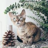 Beautiful devon rex cat in Christmas interior. Portrait of a funny devon rex Royalty Free Stock Photo