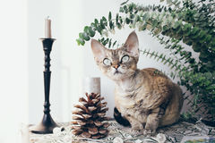 Beautiful devon rex cat in Christmas interior Stock Images