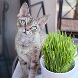 Beautiful devon rex cat is eating cat grass. Pet grass, cat grass, looking Stock Photography