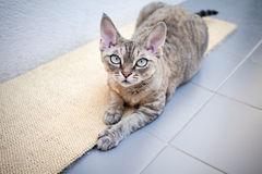 Beautiful devon rex cat laying on a scratching board. Cat laying on a scratching carpet Royalty Free Stock Photos