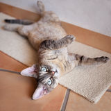 Beautiful devon rex cat is laying on a scratching board. Portrait of a funny indoor tabby cat enjoying laying down. Pet Equipment, Accessories and supplies Stock Images