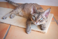 Beautiful devon rex cat laying on a scratching board. Portrait of pretty indoor tabby cat Royalty Free Stock Photos