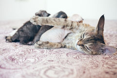 Beautiful Devon rex cat mama is with her baby kittens. Kittens are nursing / breastfeeding the mothers milk Stock Photo