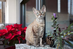 Beautiful devon rex cat is sitting on a nice balcony Stock Photography