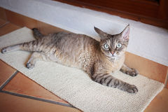 Beautiful devon rex cat on the scratching board. Happy tabby female cat laying Royalty Free Stock Image