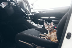 Beautiful devon rex cat is sitting in a car seat. Cat is feeling comfortable and calm. Train your cat to travel together. Reducing Cat Stress during Car Rides Royalty Free Stock Images