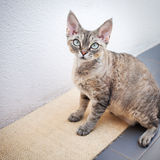 Beautiful devon rex cat sitting on the scratching board Royalty Free Stock Images