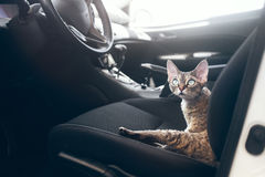 Beautiful Devon Rex cat is traveling in a car. Cat is feeling comfortable and calm Royalty Free Stock Images