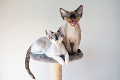 Beautiful devon rex cats sitting on the scratching post Royalty Free Stock Image