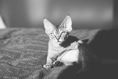 Beautiful devon rex kitten laying down on the sun. Black and white photo of a cat Stock Photo