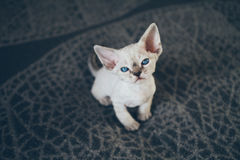 Beautiful Devon Rex point tabby little kitten is sitting on a soft blanket. Cat is feeling relaxed and comfortable. Friendly kitten looking at camera with Royalty Free Stock Photos