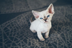 Beautiful Devon Rex point tabby little kitten is sitting on a soft blanket. Cat is feeling relaxed and comfortable. Friendly kitten looking at camera with Royalty Free Stock Image
