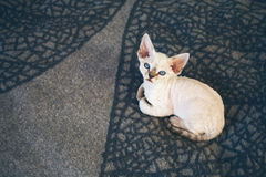 Beautiful Devon Rex point tabby little kitten is sitting on a soft blanket. Cat is feeling relaxed and comfortable. Friendly kitten looking at camera with Stock Photo