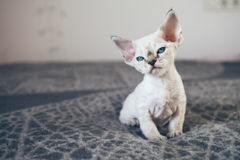 Beautiful Devon Rex point tabby little kitten is sitting on a soft blanket. Cat is feeling relaxed and comfortable. Friendly kitten looking at camera with Stock Images