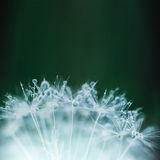 Beautiful dew drops on a dandelion seed macro. Royalty Free Stock Images