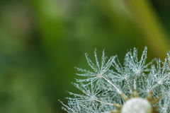 Beautiful dew drops on a dandelion seed macro. Stock Images