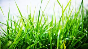 Dew on the green grass. Beautiful dew grass wallpaper with text to your web site or many also Royalty Free Stock Images