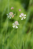 Beautiful dewy flowers of the Bladder Campion Stock Photos