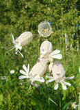 Beautiful dewy flowers of the Bladder Campion Oberna behen (L.) Stock Photos
