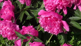 Beautiful dewy peony flowers in summer garden after rain stock footage