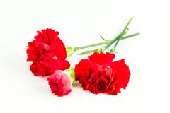 Beautiful dianthus flower isolated on white background stock photography